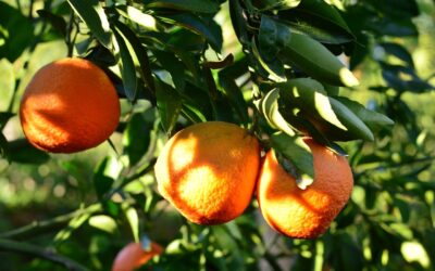Growing and Planting Citrus Trees